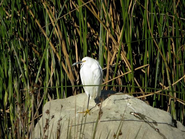 chilly egret