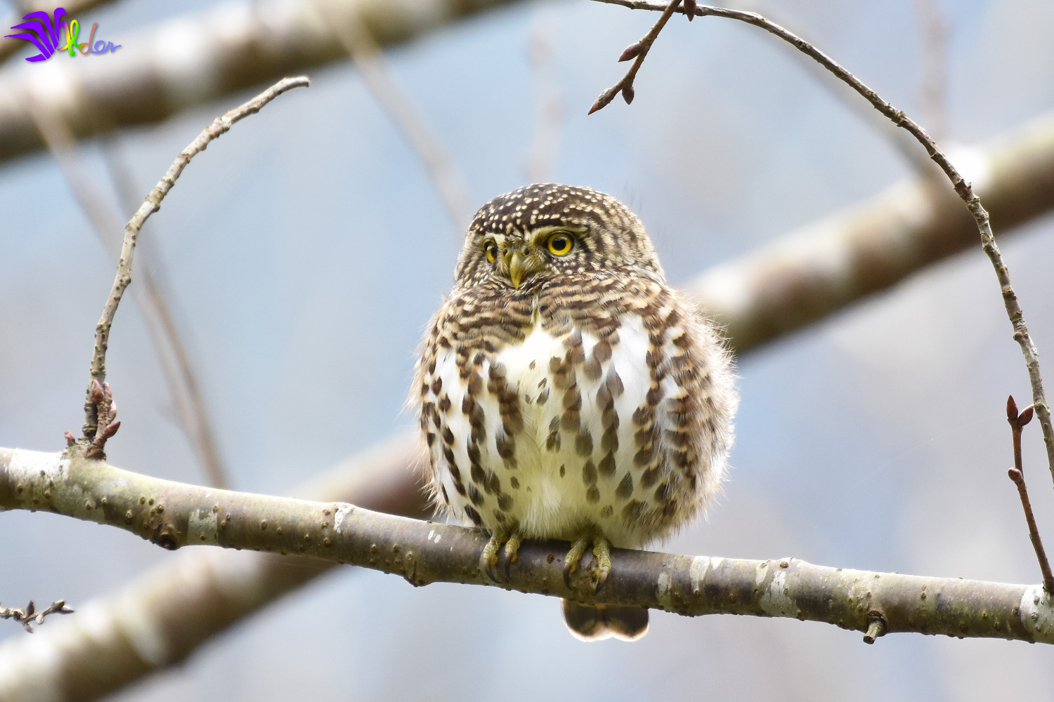Collared_Owlet_5637