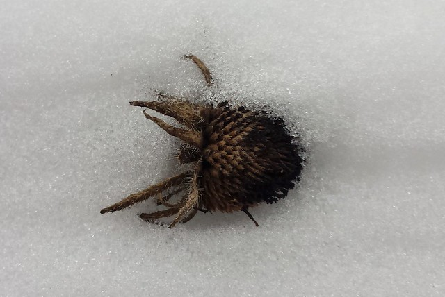 seedhead pointing to the right poking out of a snowbank, the dark brown bracts looking almost like spider legs