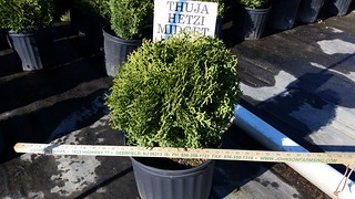Thuja Hetz Midget 3 gal 12-15 | by Johnson Farms