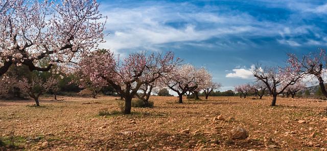 Almond fields. Caravaca de la Cruz