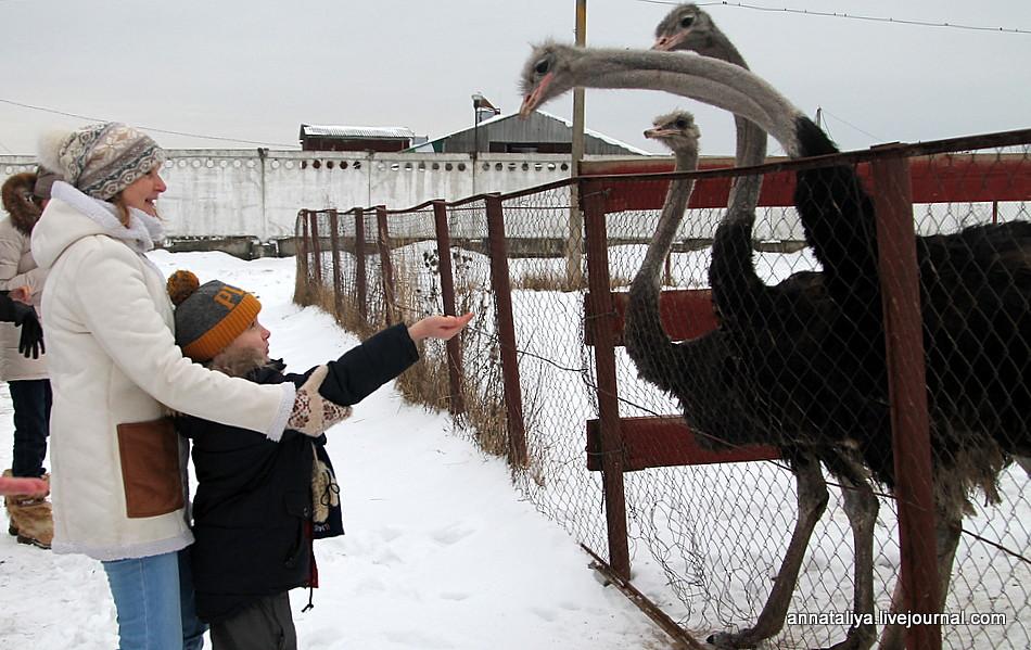 Картинки по запросу страусиная ферма закарпатье зимой