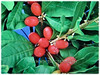 Synsepalum dulcificum (Miracle Fruit, Miracle Berry, Miraculous Berry, Flavour/Sweet Berry)