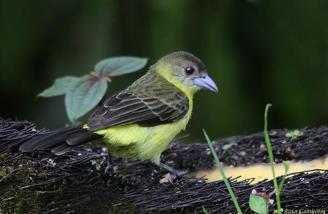 Tangara Lomilimón | Lemon-rumped Tanager (Ramphocelus icteronotus)