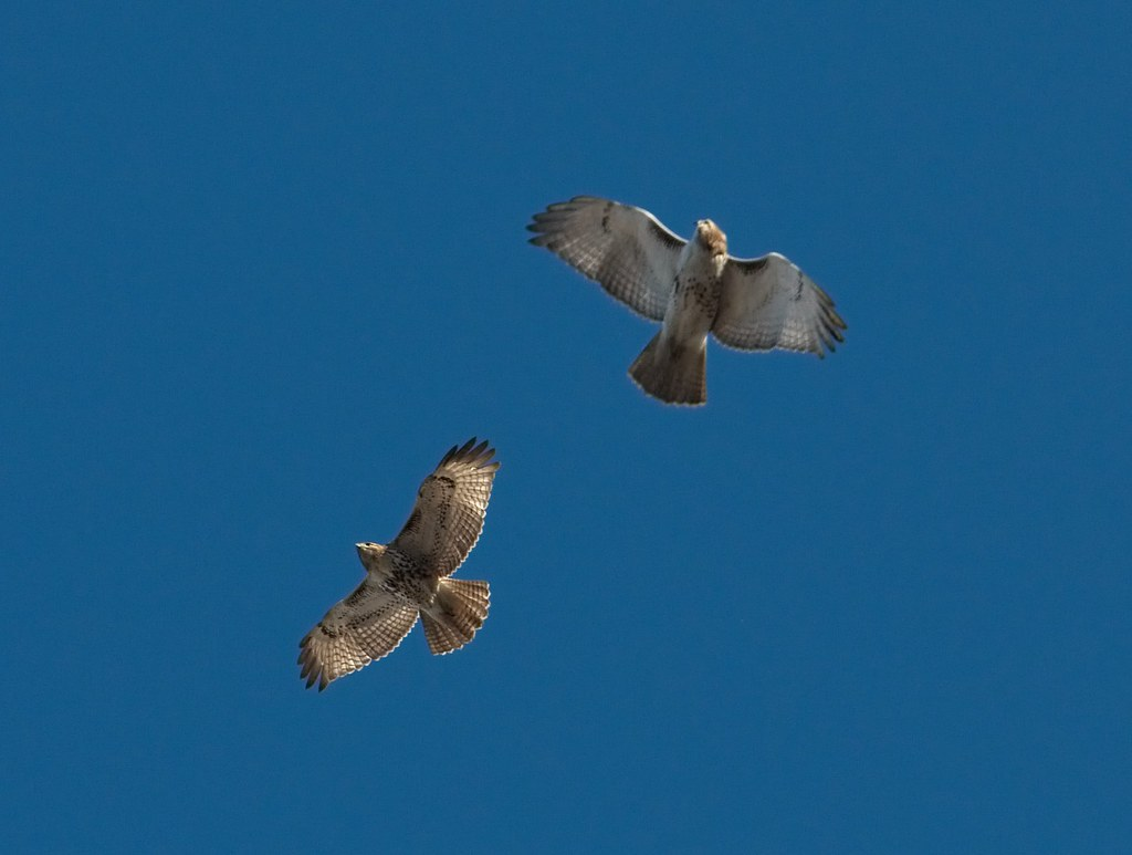 Two immature red-tails