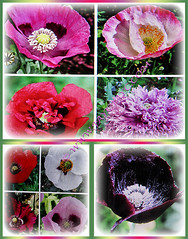 Flowers of Papaver somniferum (Opium Poppy, Breadseed Poppy, Common Poppy, Fringed Poppy) come in a wide variety of colours, March 3 2018