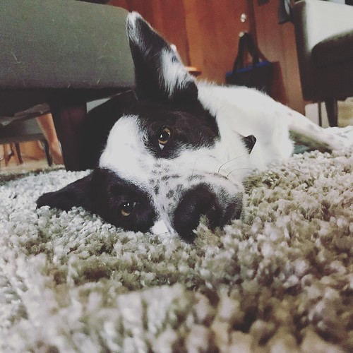 Sunday feels #bordercollie #bordercolliemix #glbcr #greatlakesbordercollierescue #lazysunday