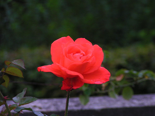 20070830 11551 0706 Jakobus Bellmagny Blume Rose rot