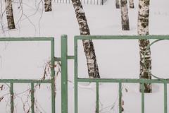 DSCF6760-Birches