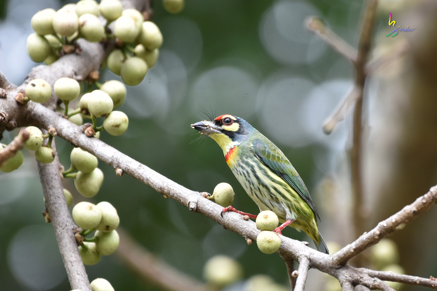 Coppersmith_Barbet_1948