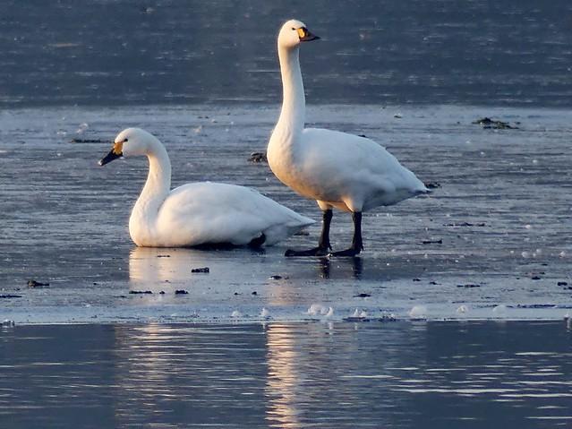 Zwergschwan***Tundra Swan***Cygnus columbianus bewickii