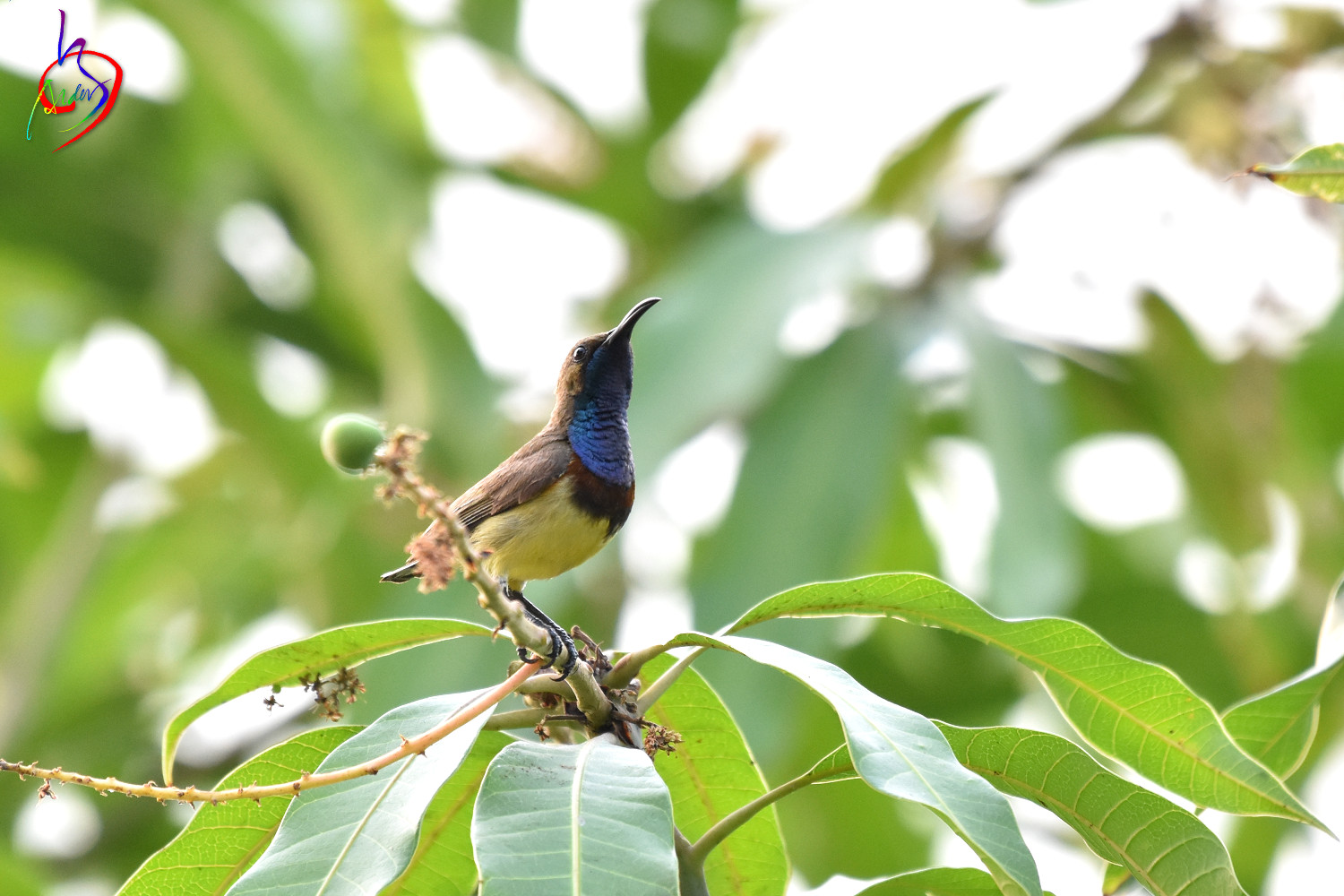 Olive-backed_Sunbird_0731