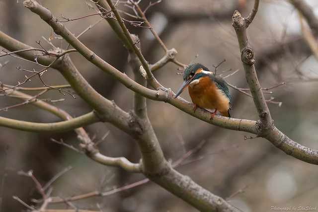 20180108-kingfisher-DSC_3349