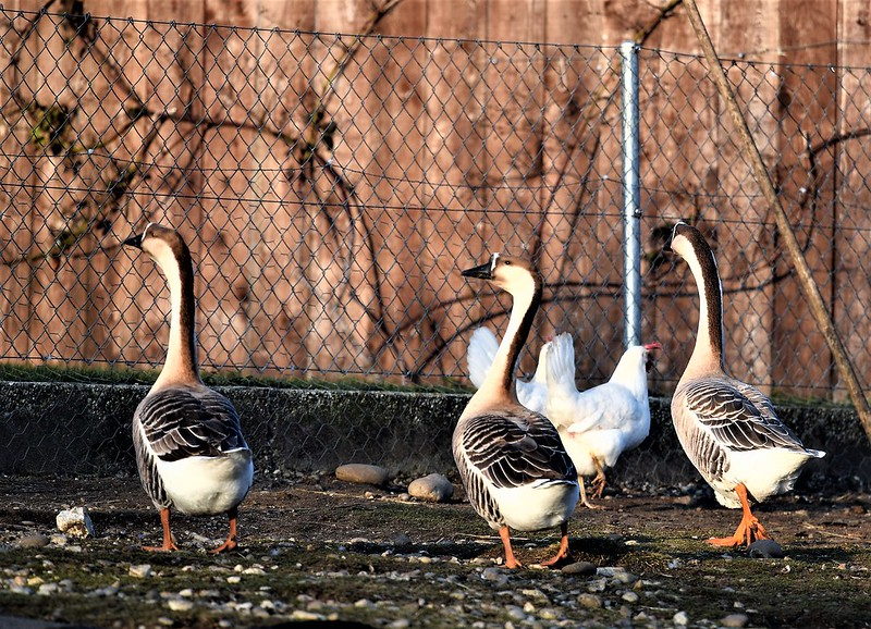 Geese 13.01 (2)