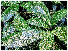Variegated leaves of Aucuba japonica (Spotted Laurel, Japanese Laurel, Japanese Aucuba, Gold Dust Plant), 23 Jan 2018