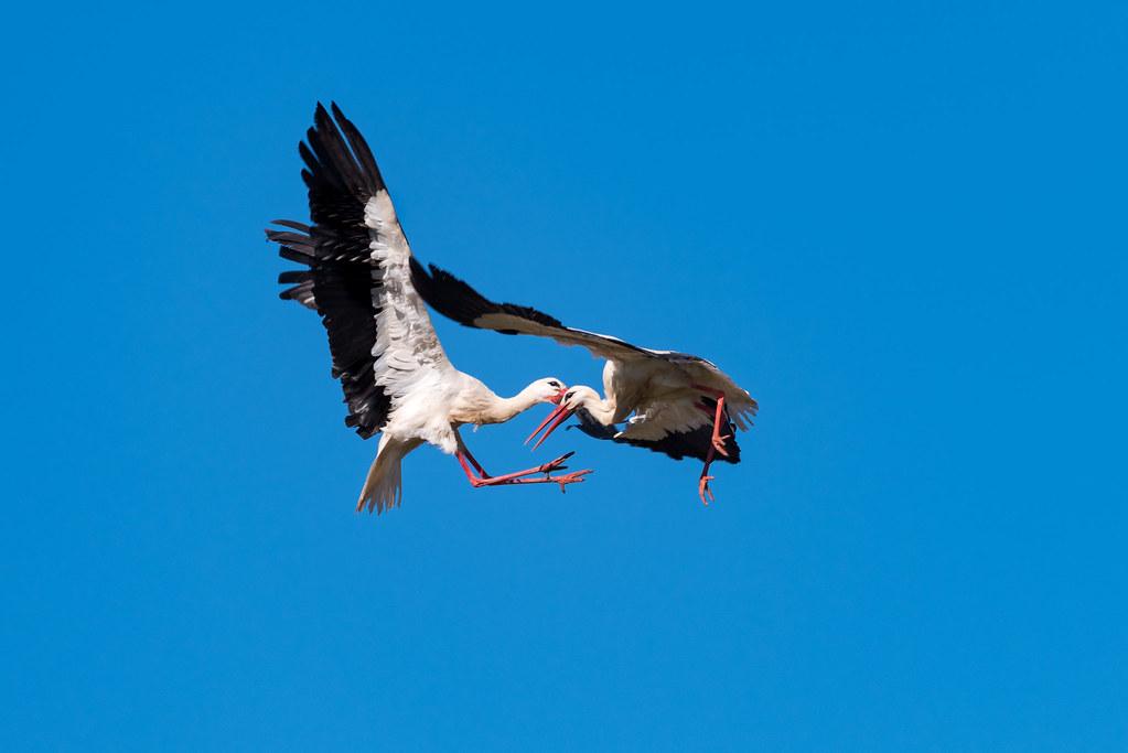 White Storks Fighting (Shot 4 of 11)