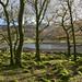 Trees beside Llyn Cwm Bychan
