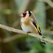 European Goldfinch ----- Carduelis carduelis