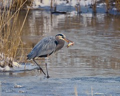 Bear River Bird Refuge 22 Feb 2018