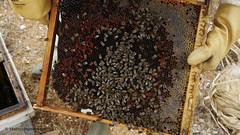 Spaanse bijen (Apis mellifera Iberica) bij imker Lee Morley kijk in de bijen