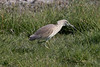 Squacco Heron at Khawr Rawri S24A6273 by grebberg