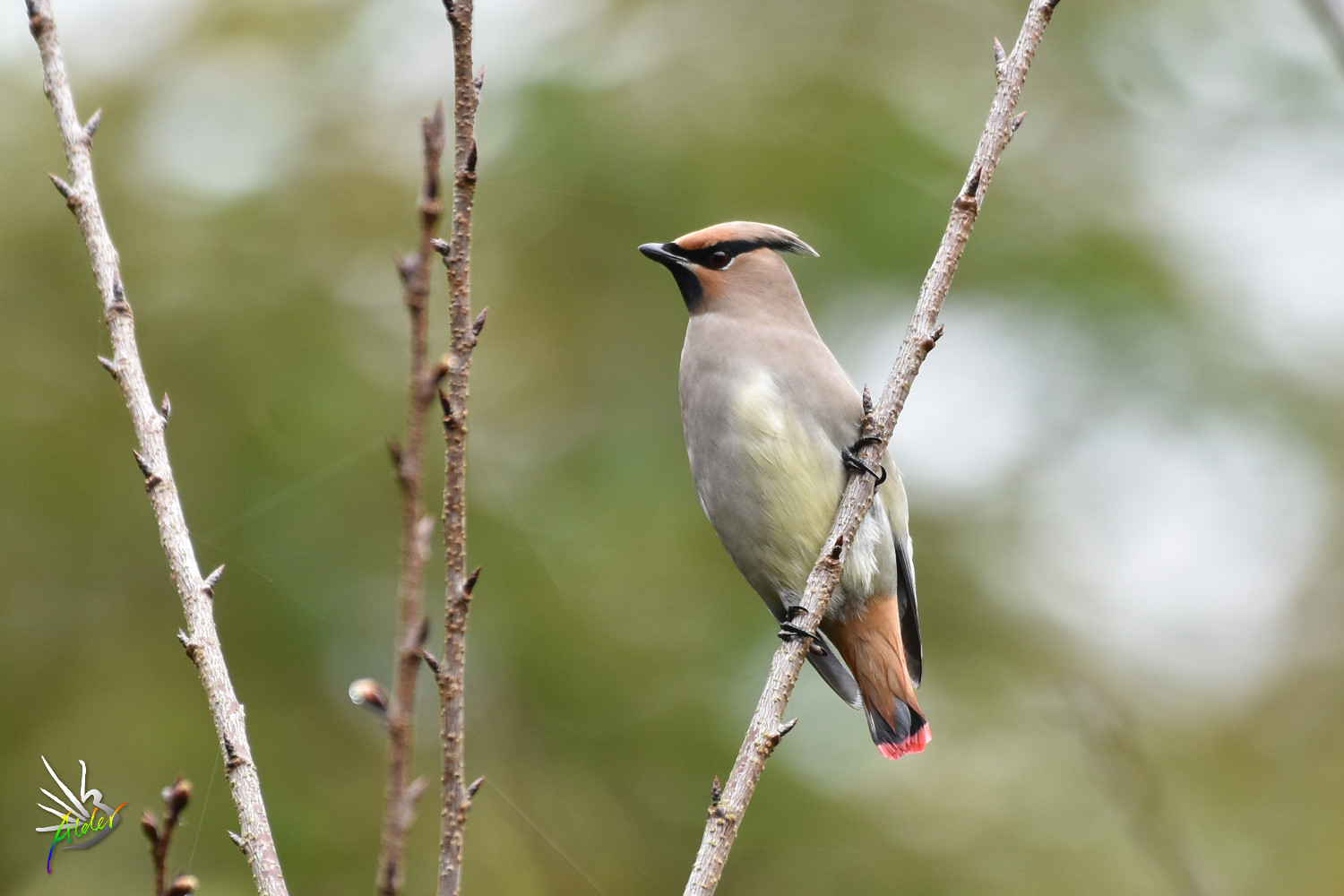 Japanese_Waxwing_7759
