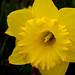 Daffodil Trumpet