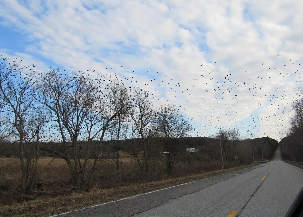 Grackle Flock