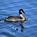 Great Crested Grebe ....
