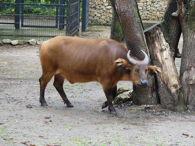 Rotbüffel, Zoo Dresden
