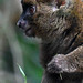 Greater Bamboo Lemur (Parc Zoologique de Paris)