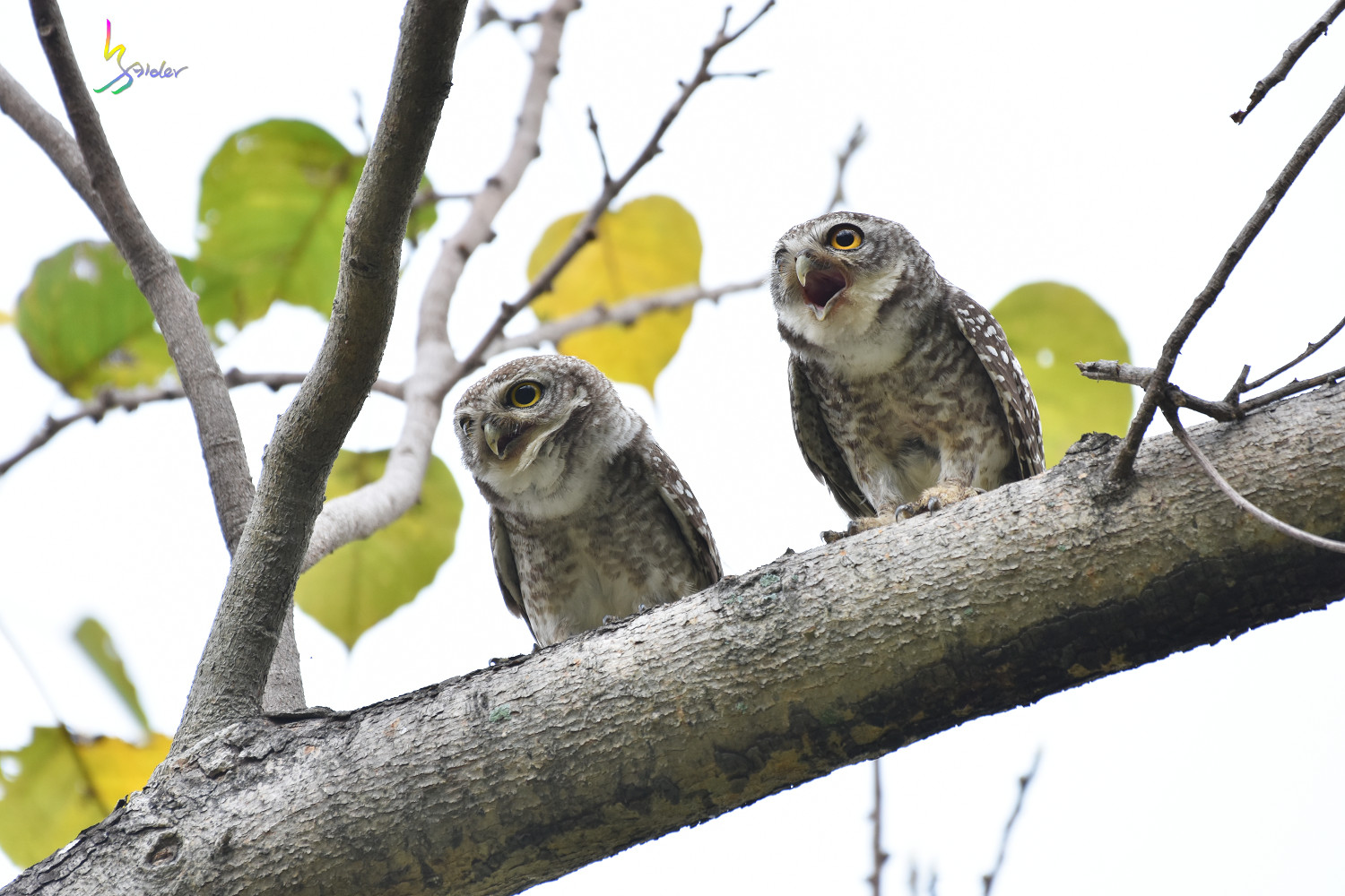 Spotted_Owlet_3912