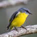 Eastern Yellow Robin, Nelson, Australia by Manuel ROMARIS
