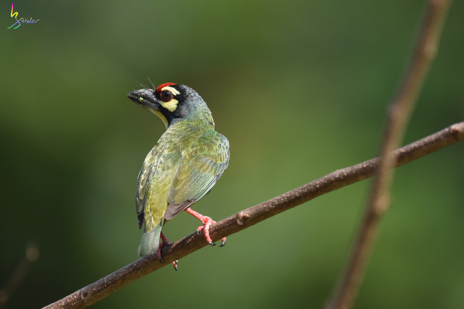 Coppersmith_Barbet_5129