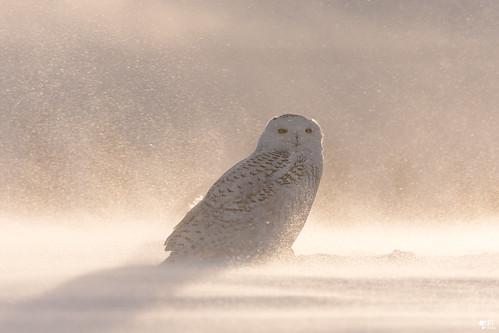 ''Poussière d'or!'' Harfang des neiges-Snowy owl
