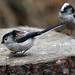 Long Tailed Tits