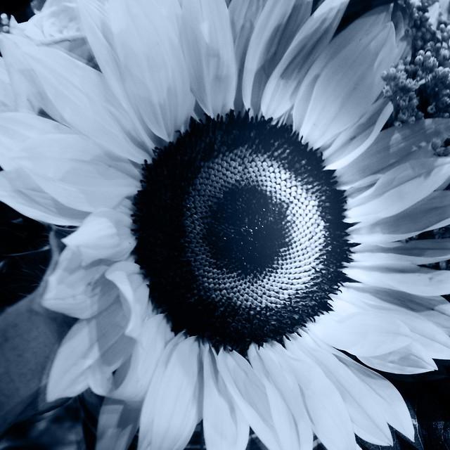 Sunflower - monochrome
