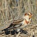 Eye-level Snow Bunting