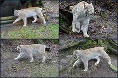 Zoo de Jurques, Le lynx - Photo of Aunay-sur-Odon