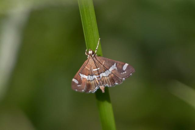 Beet Webworm Moth (Spoladea recurvalis)