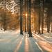 Pines Wood panorama