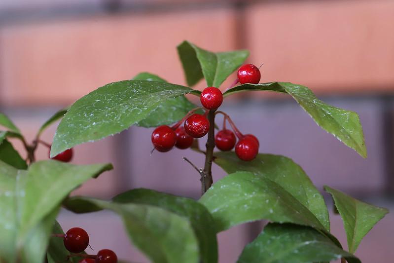 Ardisia japonica  ヤブコウジ(実)