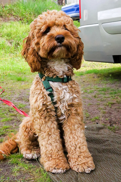 Cockapoo Pictures And Informations - Dog-Breedscom-3730
