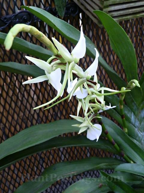 orchid angraecum