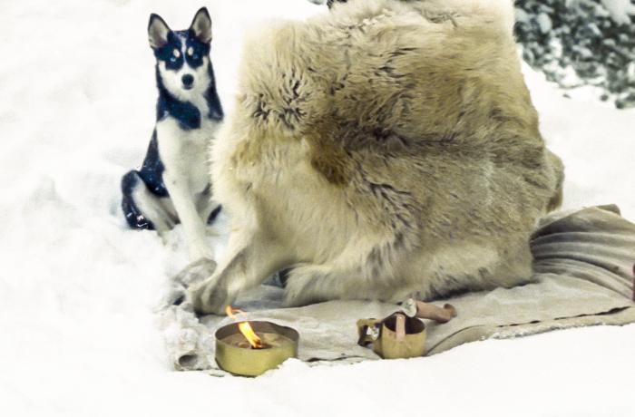 sinisilmäinen siperian husky pentu puppy blue eye