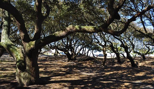 Live Oaks (Quercus virginiana) (2)