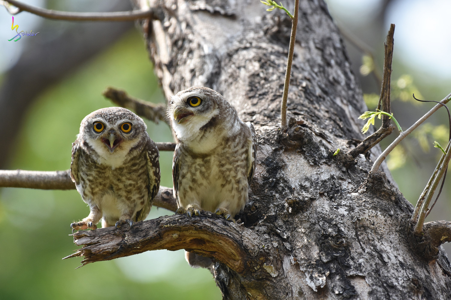 Spotted_Owlet_4592