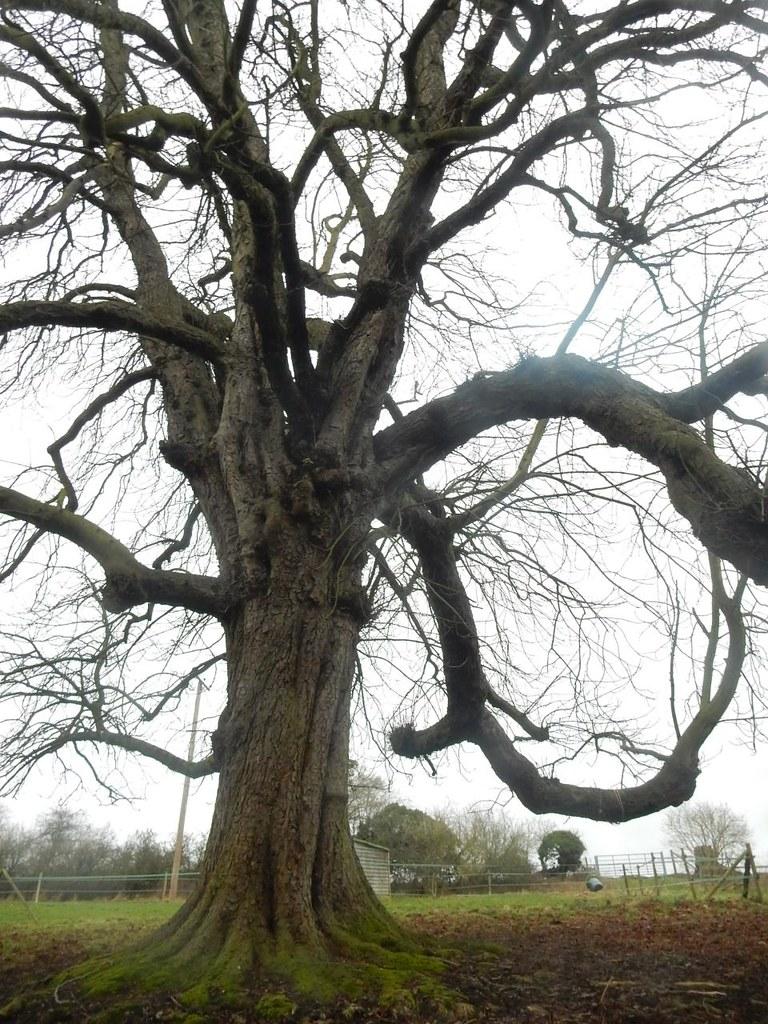 Twisty tree Chorleywood to Chesham
