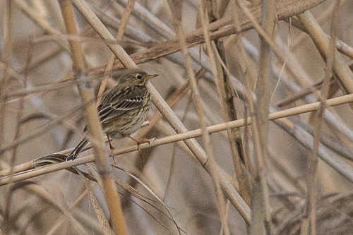 Water Pipit - maybe