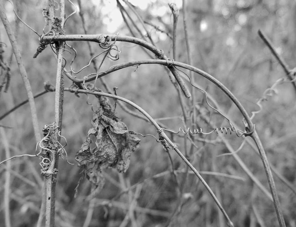 Vines and twigs B&W | At Fairview-Riverside State Park, Madi